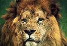 longleat-lions